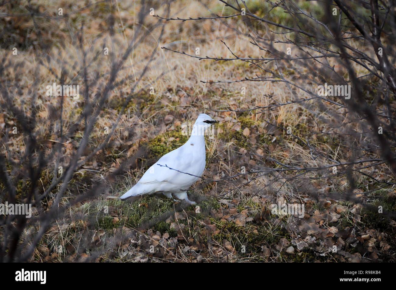 Ptarmigan (Lagopus muta) in its natural habitat. - Stock Image