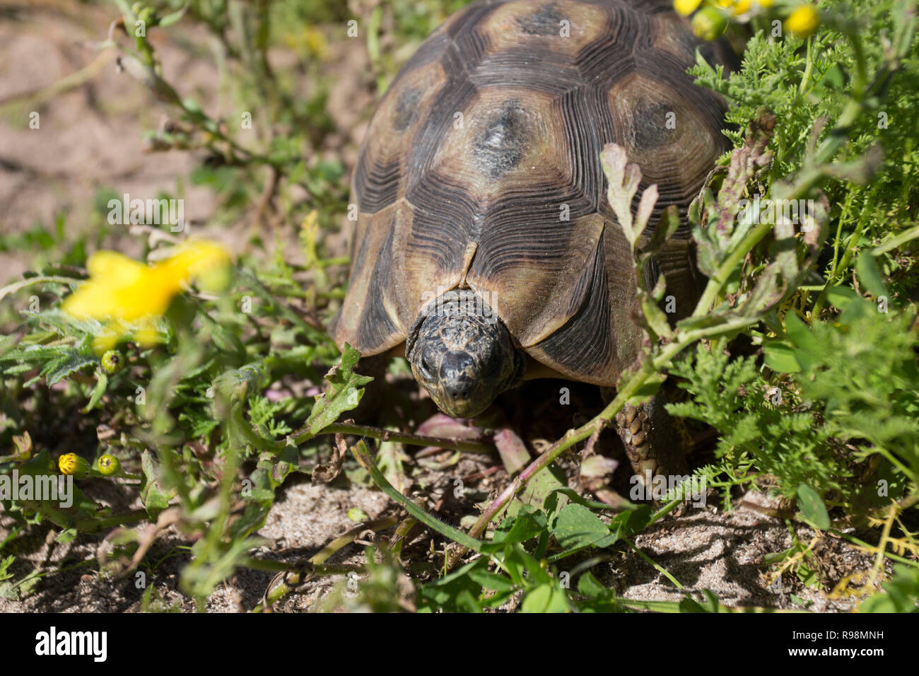 A Angulated tortoise in the West Coast National Park South Africa - Stock Image