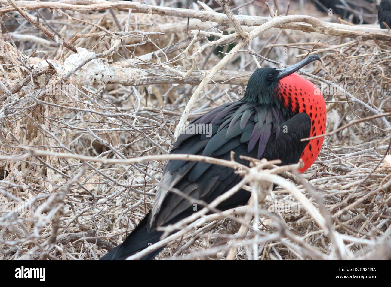 Close up of a Frigate bird trying to attract a mate by inflating its gular pouch on North Seymour Island, Galapagos - Stock Image