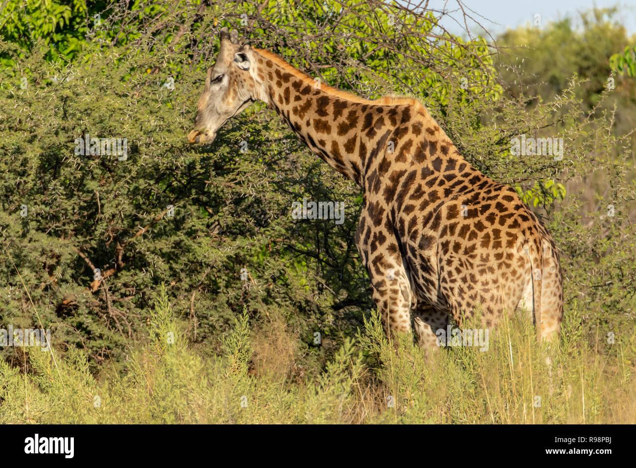 Namibian giraffe browsing acacia trees in Botswana, Africa - Stock Image