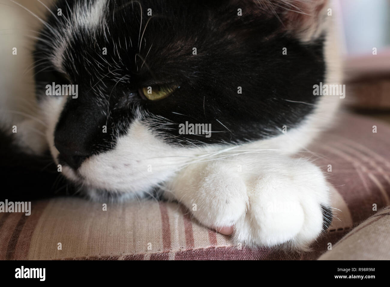 black and white cat sleepy on a pillow - Stock Image