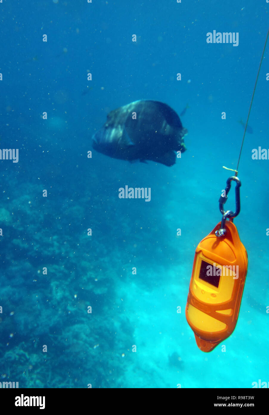 Oceanographic instrument measuring temperature, conductivity and salinity on coral reef with uninterested maori wrasse in background, Great Barrier Re - Stock Image
