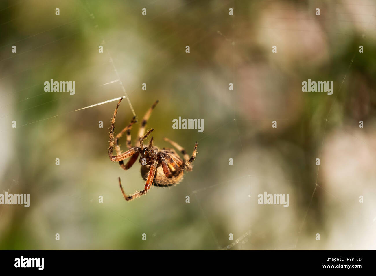 """Orb Weaver, Araneus cavaticus, or Charlotte A. Cavatica, as in """"Charlotte's Web"""" spinning a web in late summer. Wichita, Kansas, USA. - Stock Image"""