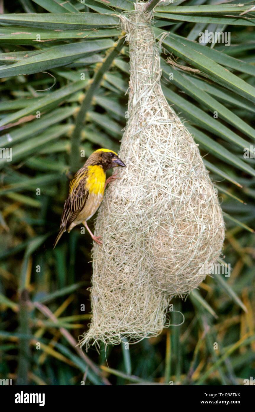 Baya Weaver Bird Building Nest Stock Photo 229461671 Alamy