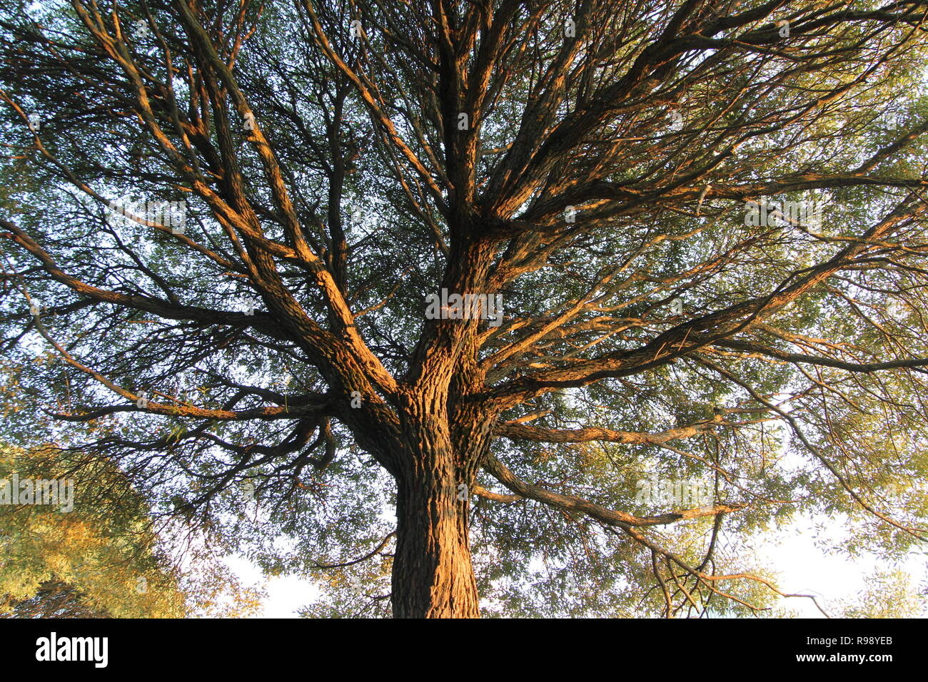 A big tree with big crown shot from below in beautiful sunset rays and clear blue sky at the background - Stock Image