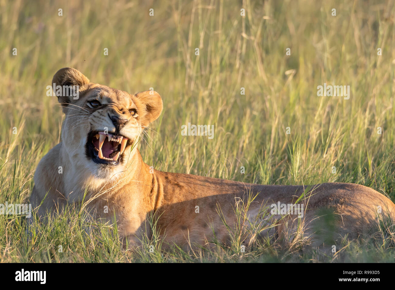 Snarling Lioness (Panthera leo) in Botswana, Africa - Stock Image