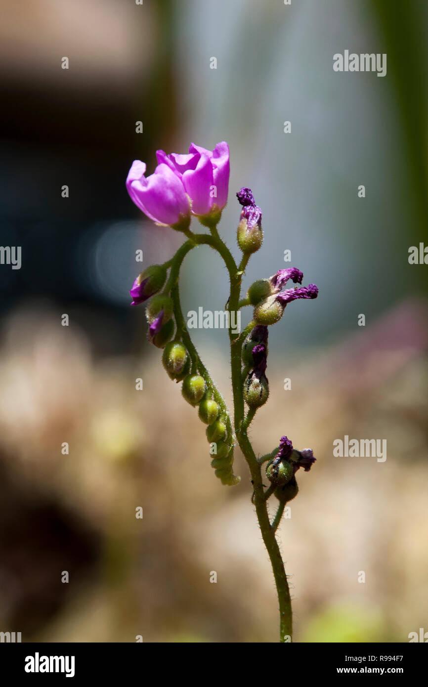Sydney Australia Purple Flower Stem Of A Sundew Plant Stock Photo