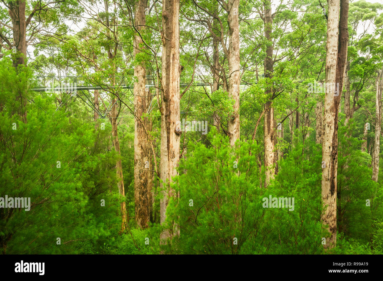 Famous Tree Top Walk in the ancient forest of Walpole-Nornalup National Park. - Stock Image