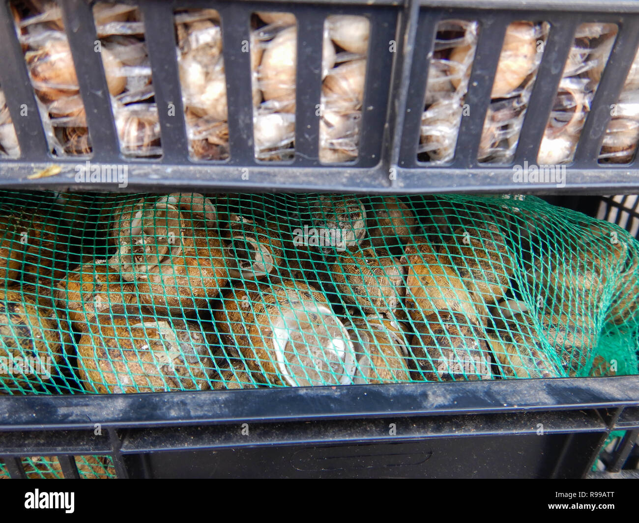 Snails in plastic boxes ready for sale - Stock Image