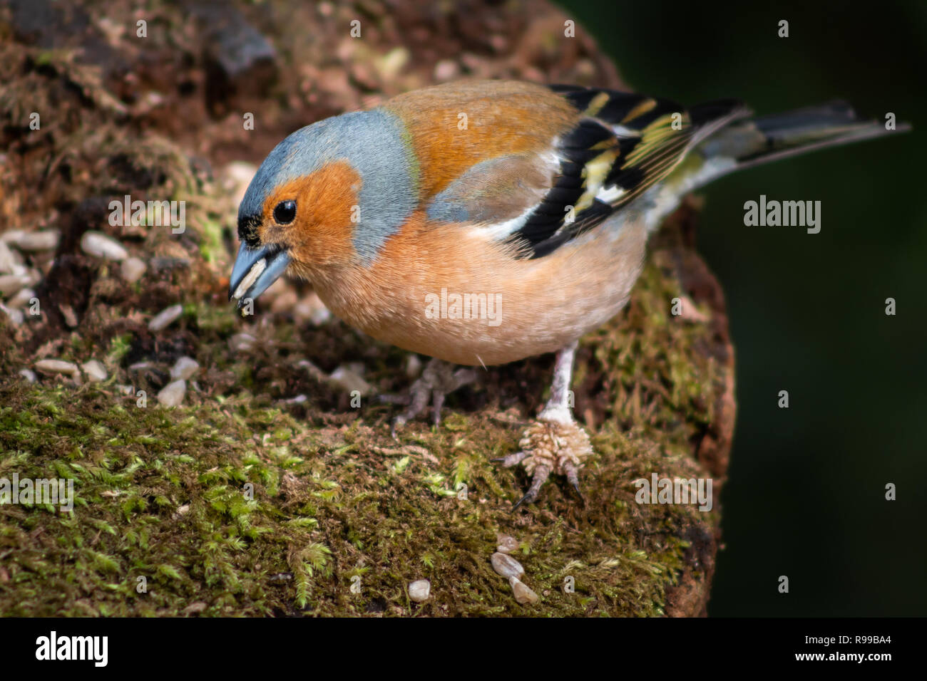 close up of a Chaffinch bird with scaly growth on claws - Stock Image