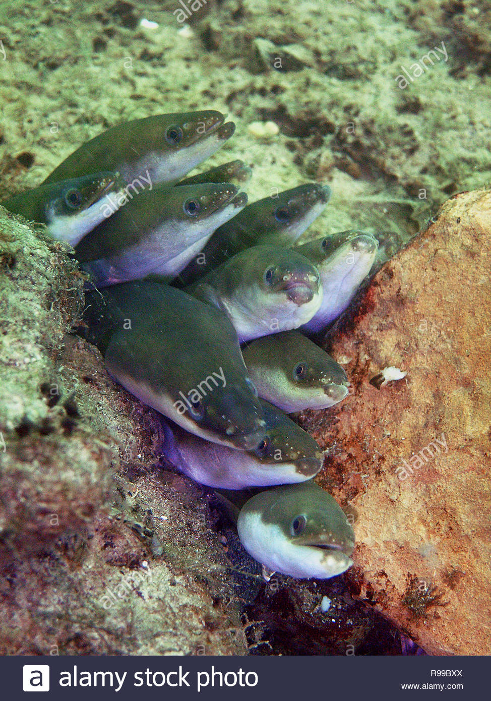 European eel (Anguilla anguilla), group, Baden-Württemberg, Germany - Stock Image