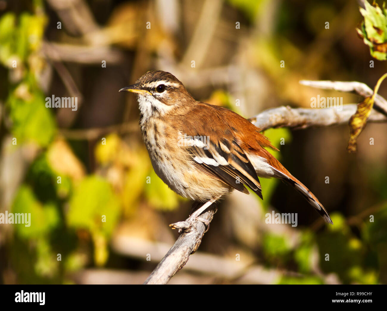 Though the White-browed Scrib Robin is a skulking secetive feeder on invertebrates in the undergrowth the cick-bird perches in prominent positions in  - Stock Image
