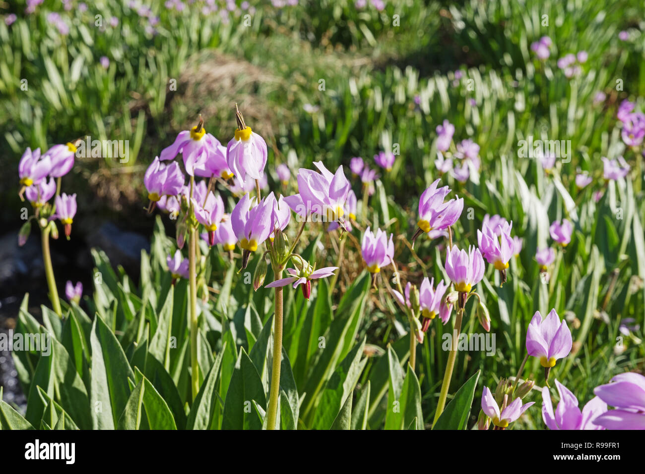 Sierra Shooting Star or Dodecatheon jeffreyi flowering in Kings Canyon National Park - Stock Image