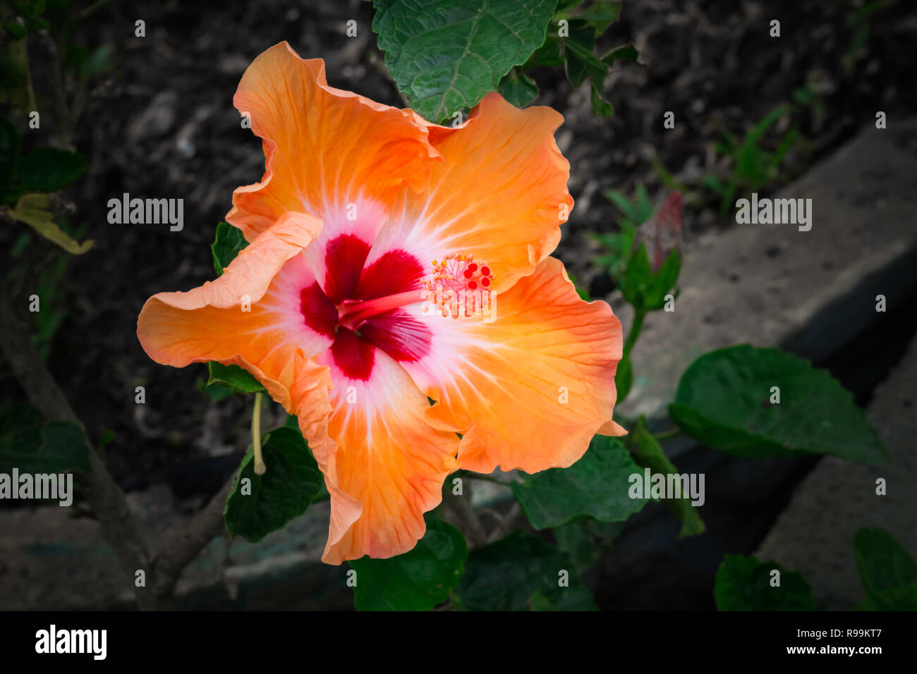 Wild Hibiscus Flower Co Stock Photos Wild Hibiscus Flower Co Stock