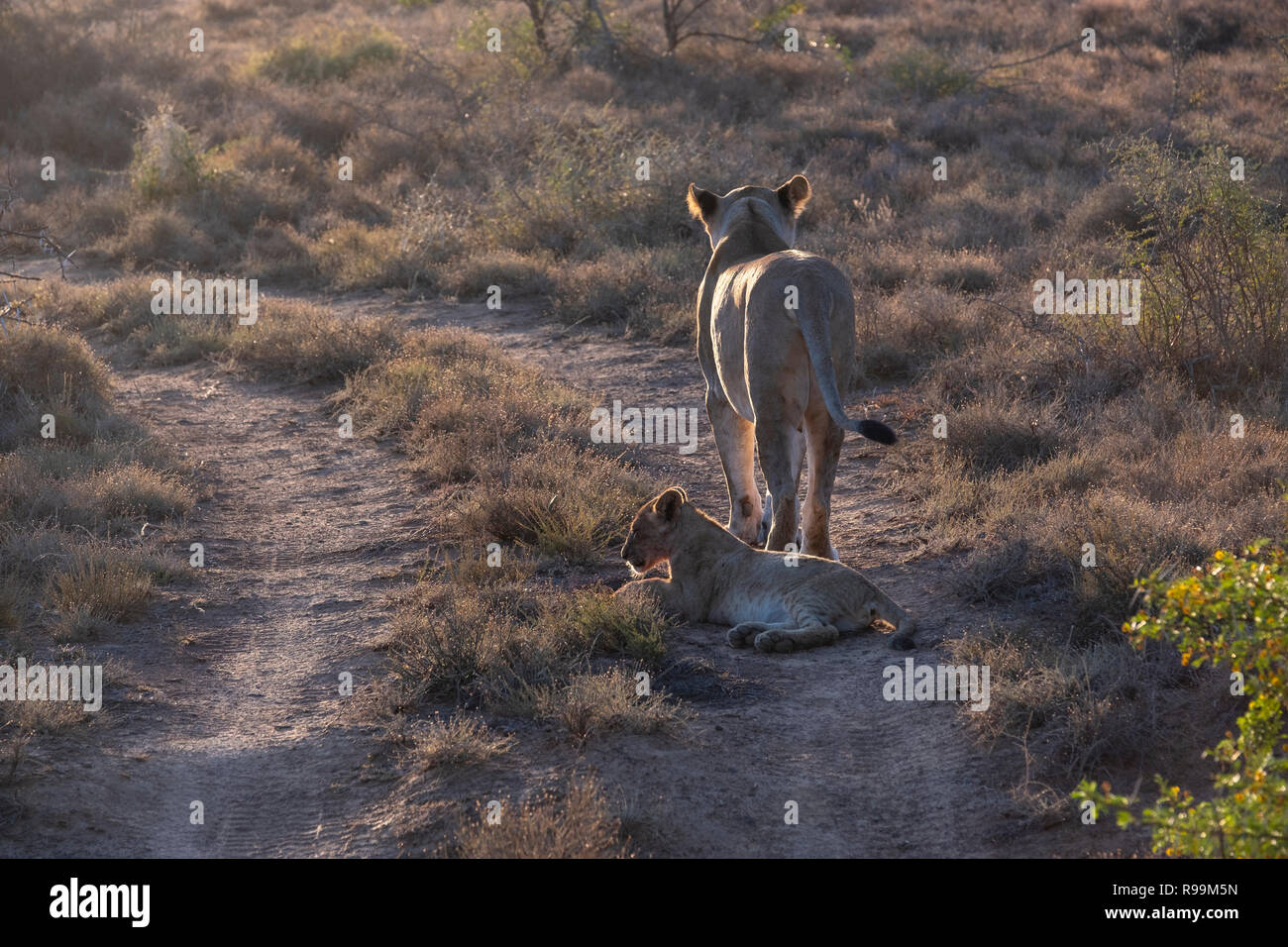 Lioness and a cub on the move early morning - Stock Image