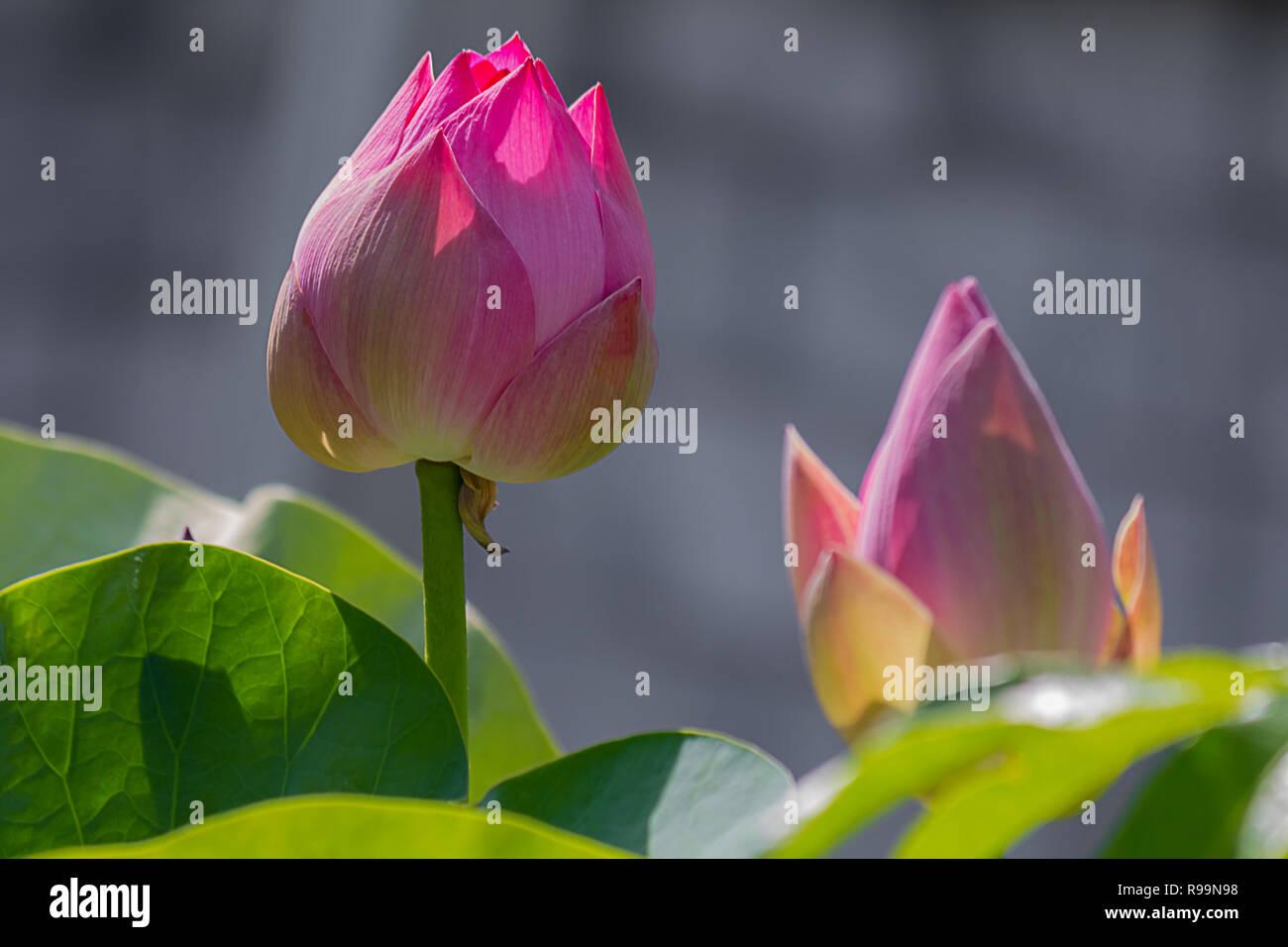 Lotus Flower Wallpaper Stock Photos Lotus Flower Wallpaper Stock