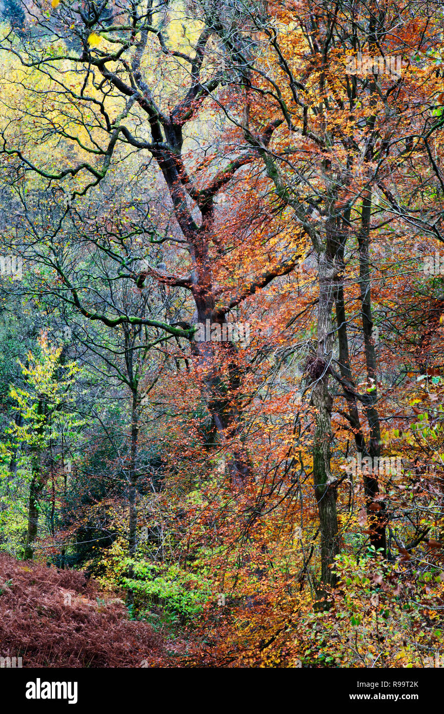 Strid Wood at Bolton Abbey in Autumn, North Yorkshire Dales - Stock Image