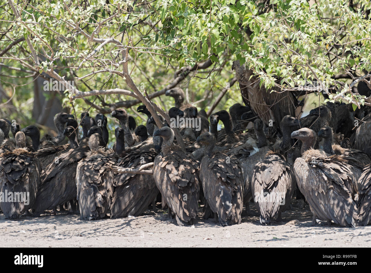 White-backed vultures in the shade of a bush, Botswana - Stock Image