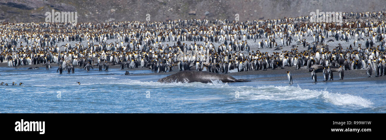South Georgia, St. Andrews Bay. Home to the largest king penguin colony in South Georgia. View of densely populated coastline filled with king penguin - Stock Image