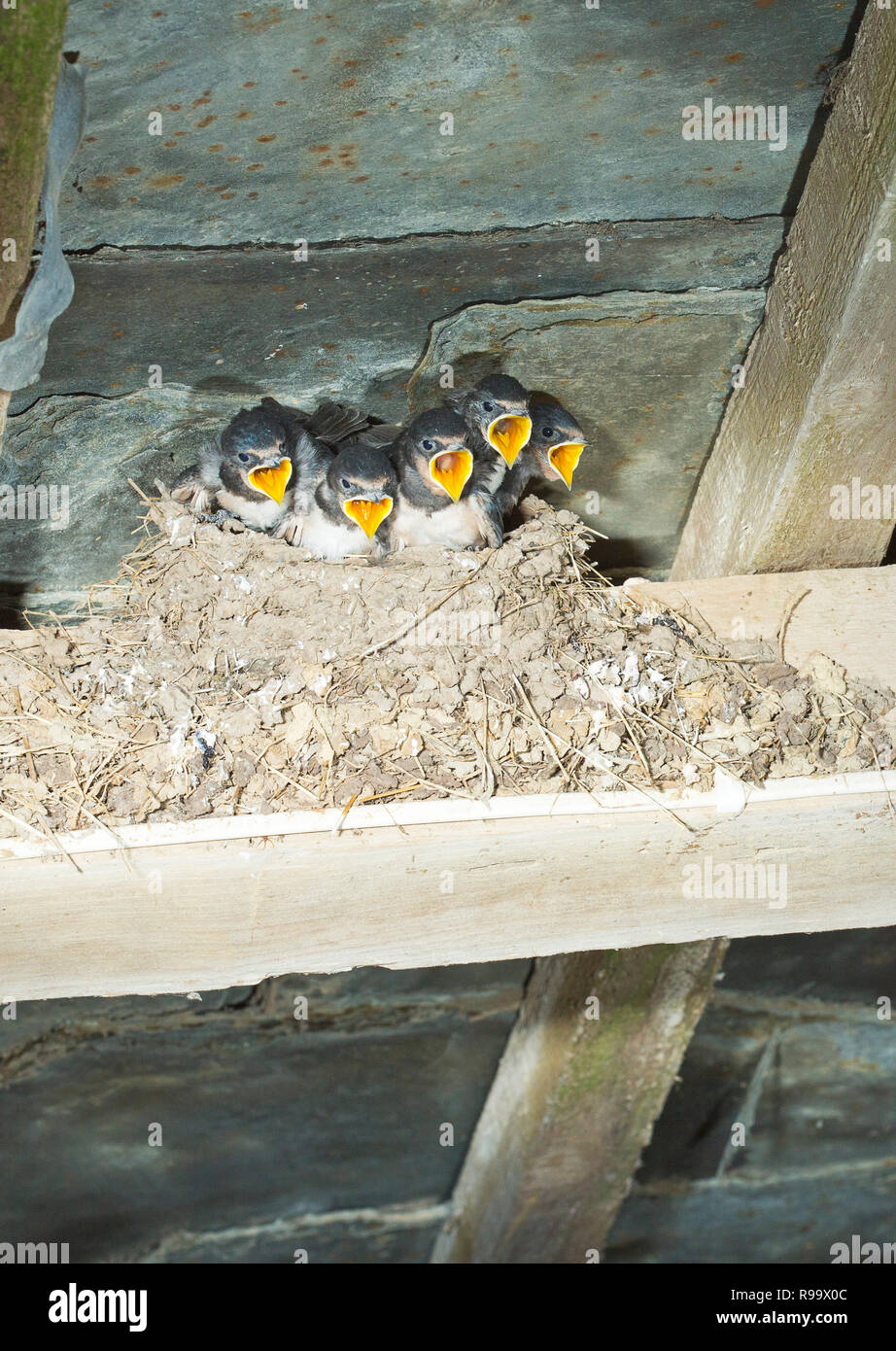 A nest full of baby swallows with their beaks wide open Stock Photo