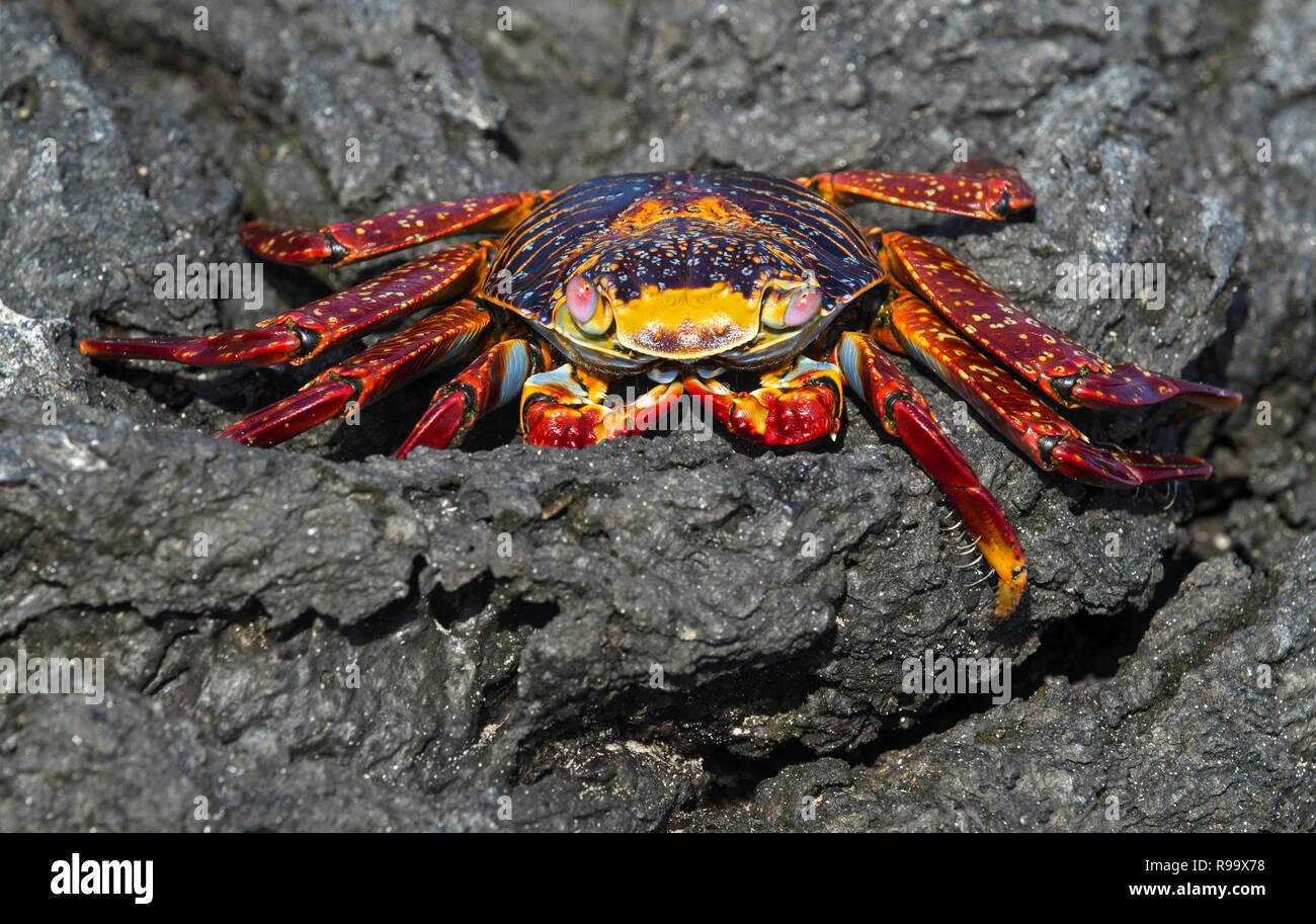 Sally Lightfoot Crab (Grapsus grapsus), Marsh crabs family (Grapsidae), Floreana  Island, Galapagos Islands, Ecuador - Stock Image
