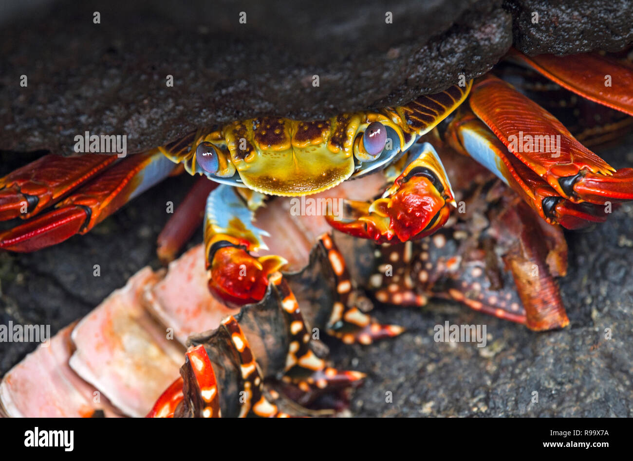 Sally Lightfoot Crab (Grapsus grapsus) hiding uncder a stone, Marsh crabs family (Grapsidae), Floreana  Island, Galapagos Islands, Ecuador - Stock Image