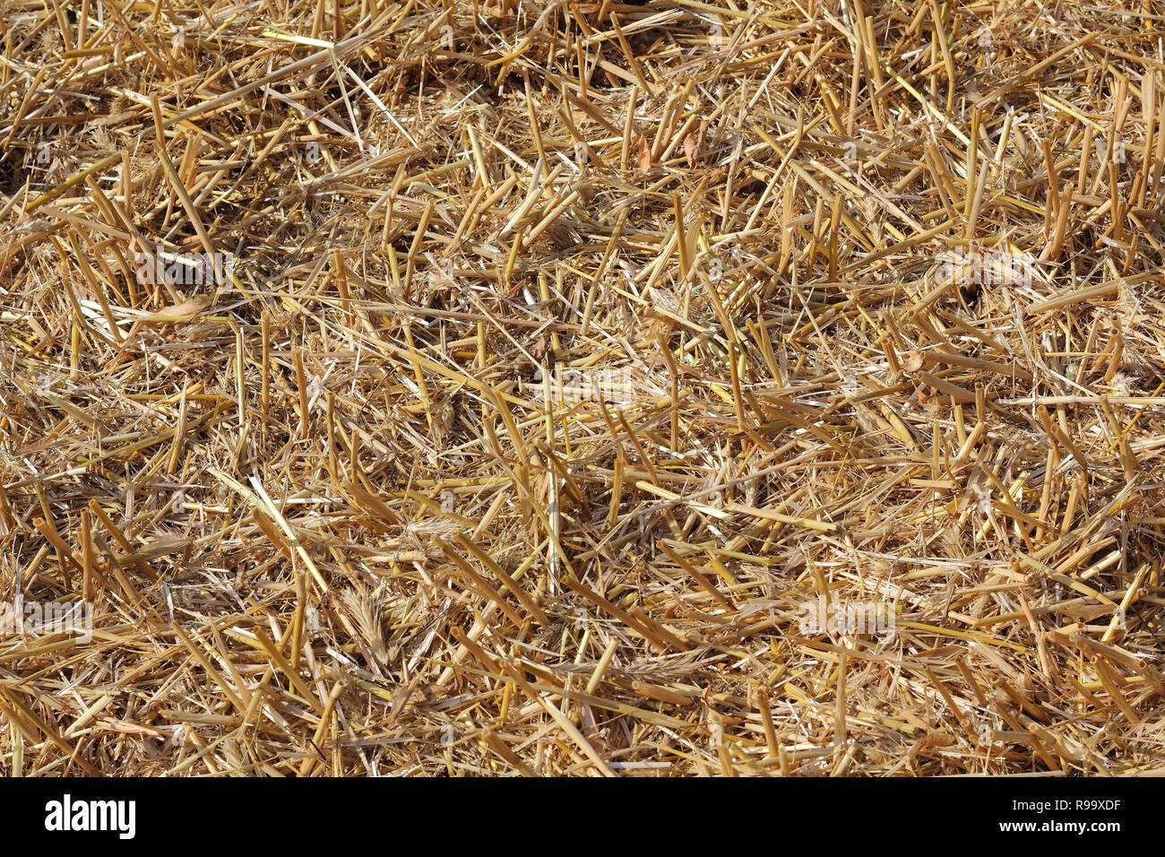 Stubble on a harvested cornfield - Stock Image