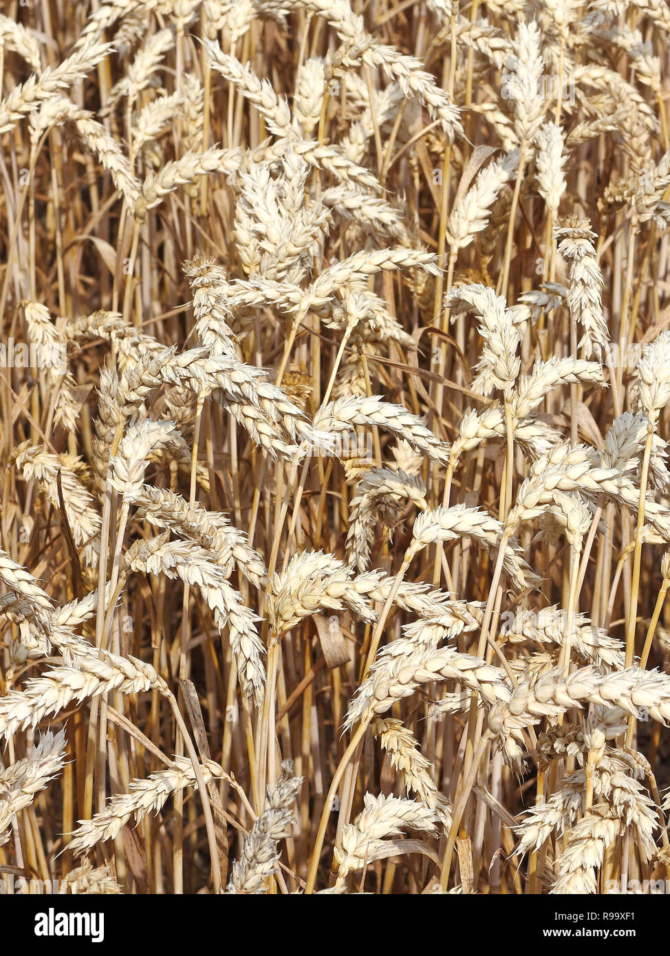 A ripe wheat field shortly before harvest - Stock Image