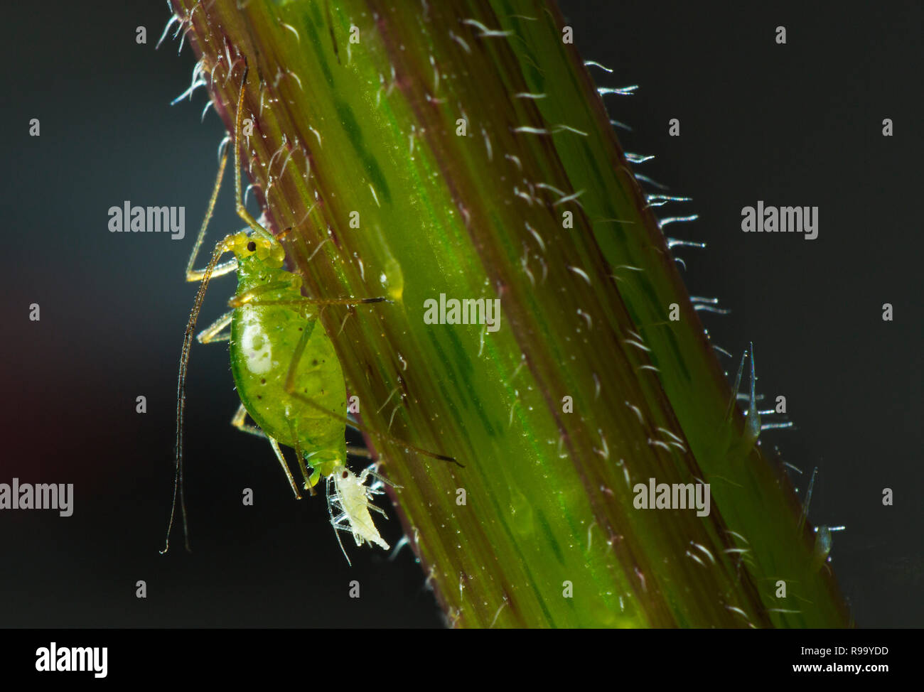 Common Nettle Aphid Microlophium carnosum giving birth - Stock Image