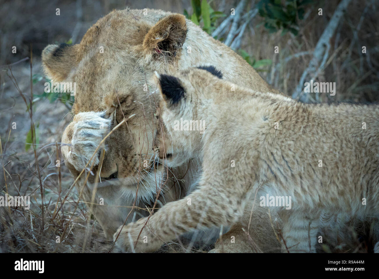 Adult lioness and tiny cub interaction. - Stock Image