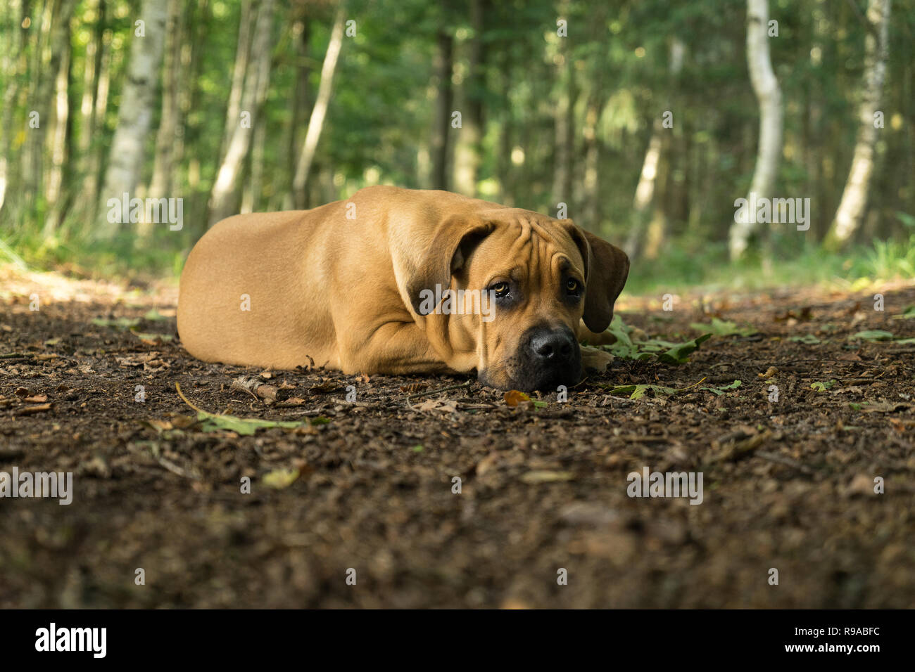 10 months young boerboel or South African Mastiff pup lying down with his head on the floor seen from the front in a forrest setting Stock Photo