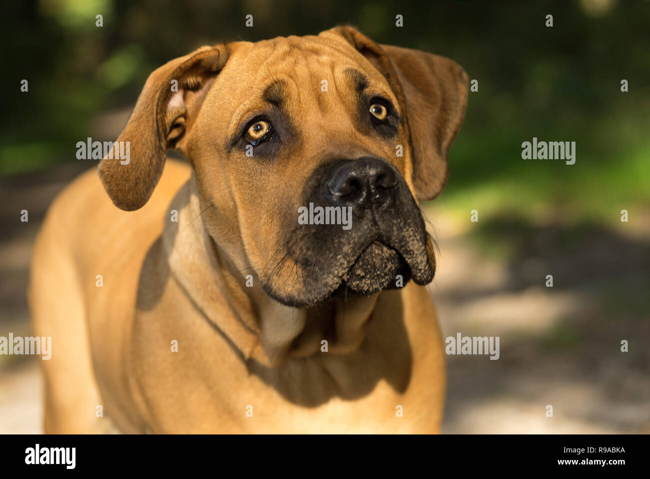 10 months young boerboel or South African Mastiff pup seen from the front close up in a forrest setting Stock Photo