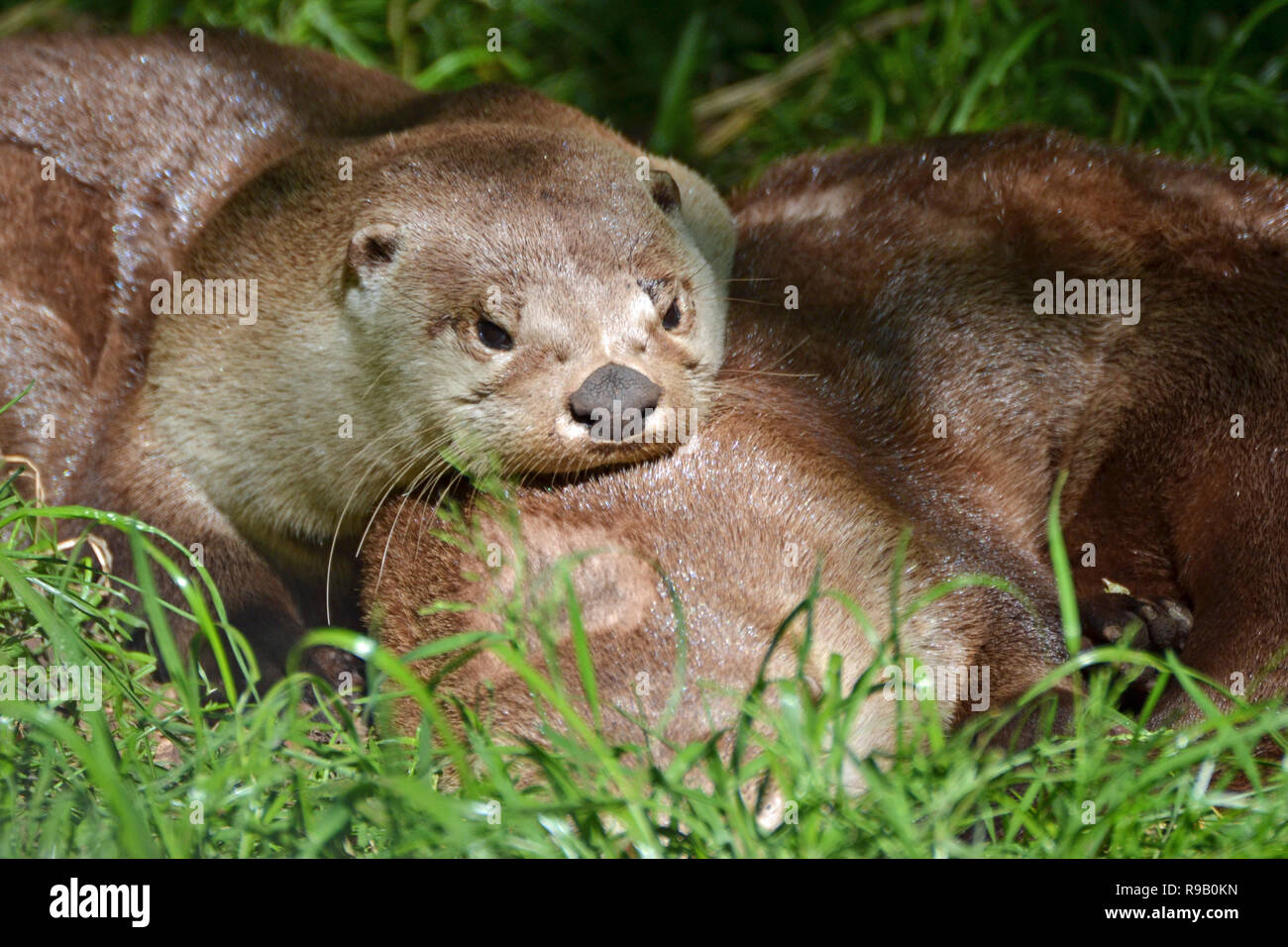 Giant Otters from South America at the New Forest Wildlife Park Stock Photo