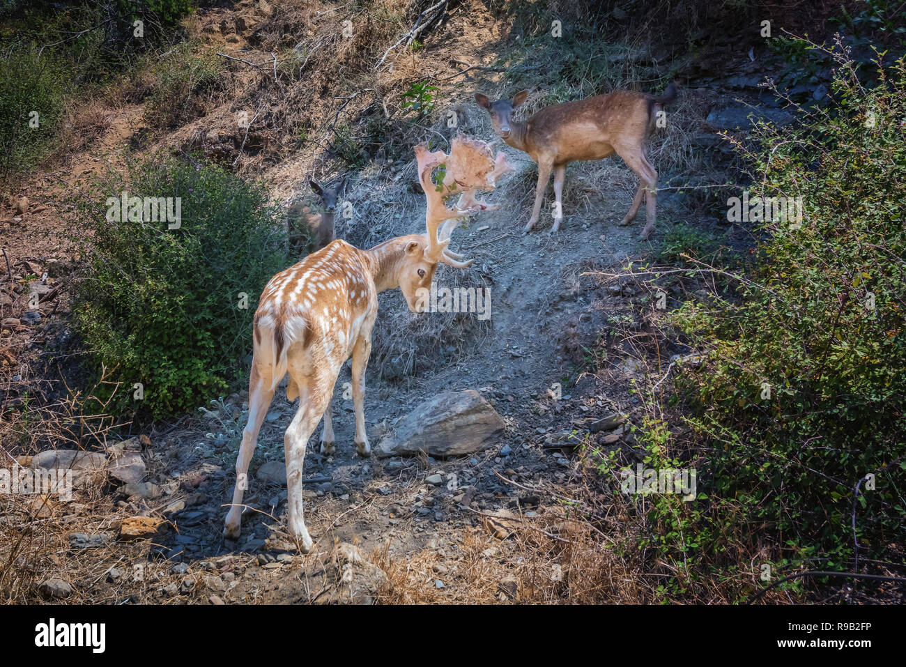 Nature scene with fallow deer family standing on rocky slope. White spotted stag with big beautiful horns protects female and baby deer, also called f Stock Photo