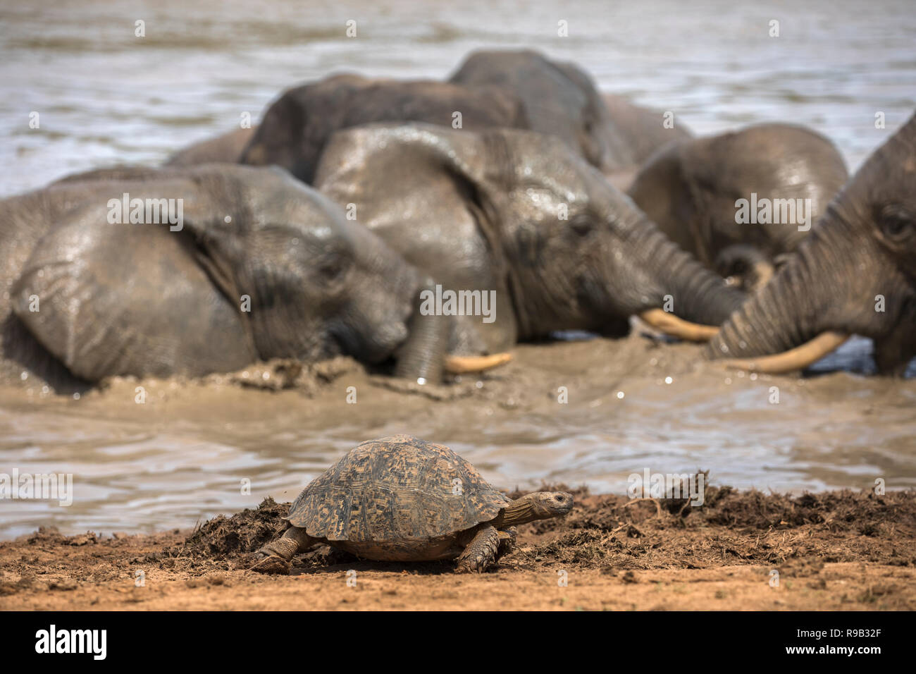Leopard (mountain) tortoise (Stigmochelys pardalis), Addo elephant national park, Eastern Cape, South Africa - Stock Image
