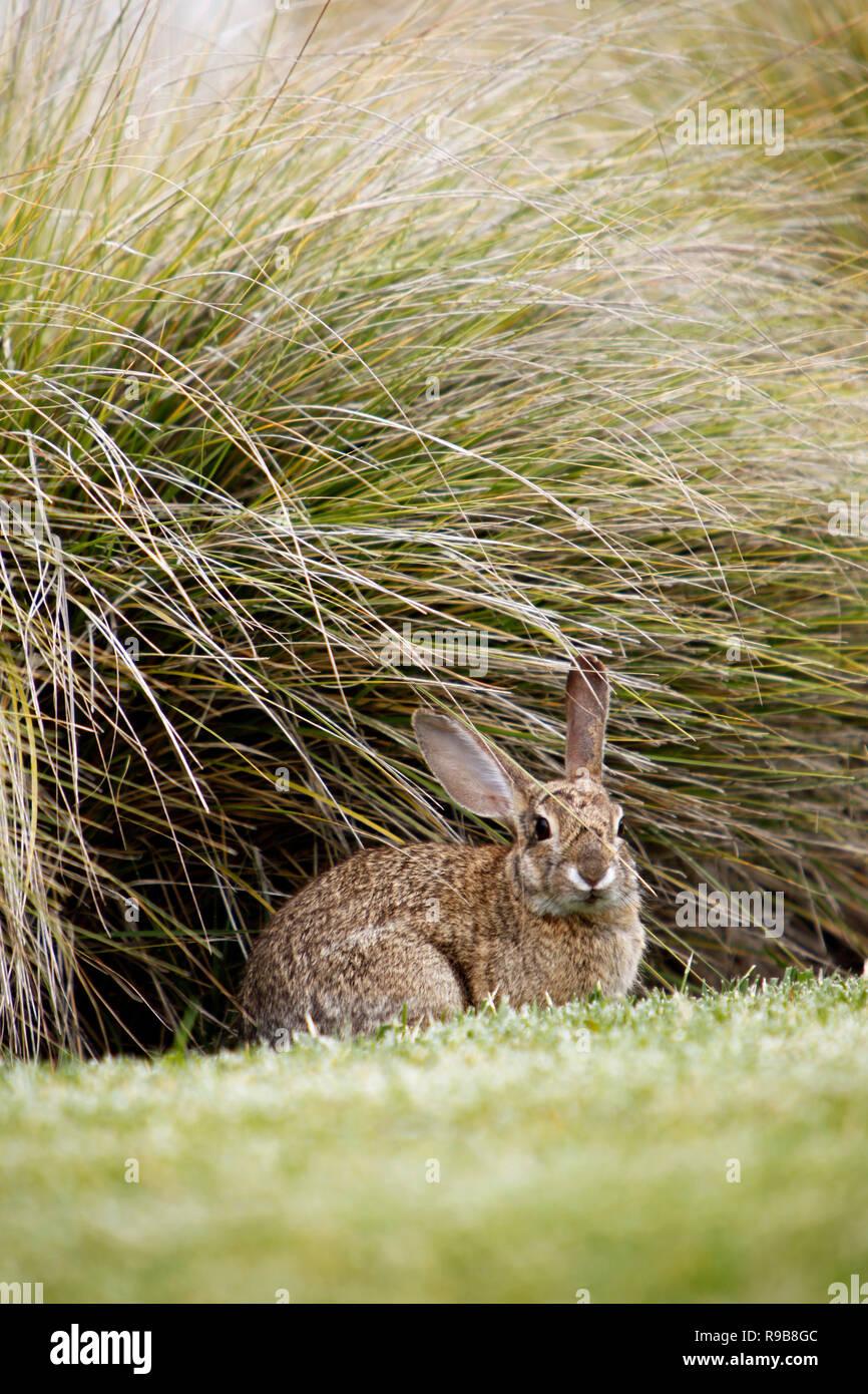 Jack Rabbit Usa >> Usa California San Diego Jack Rabbit In The Bushes