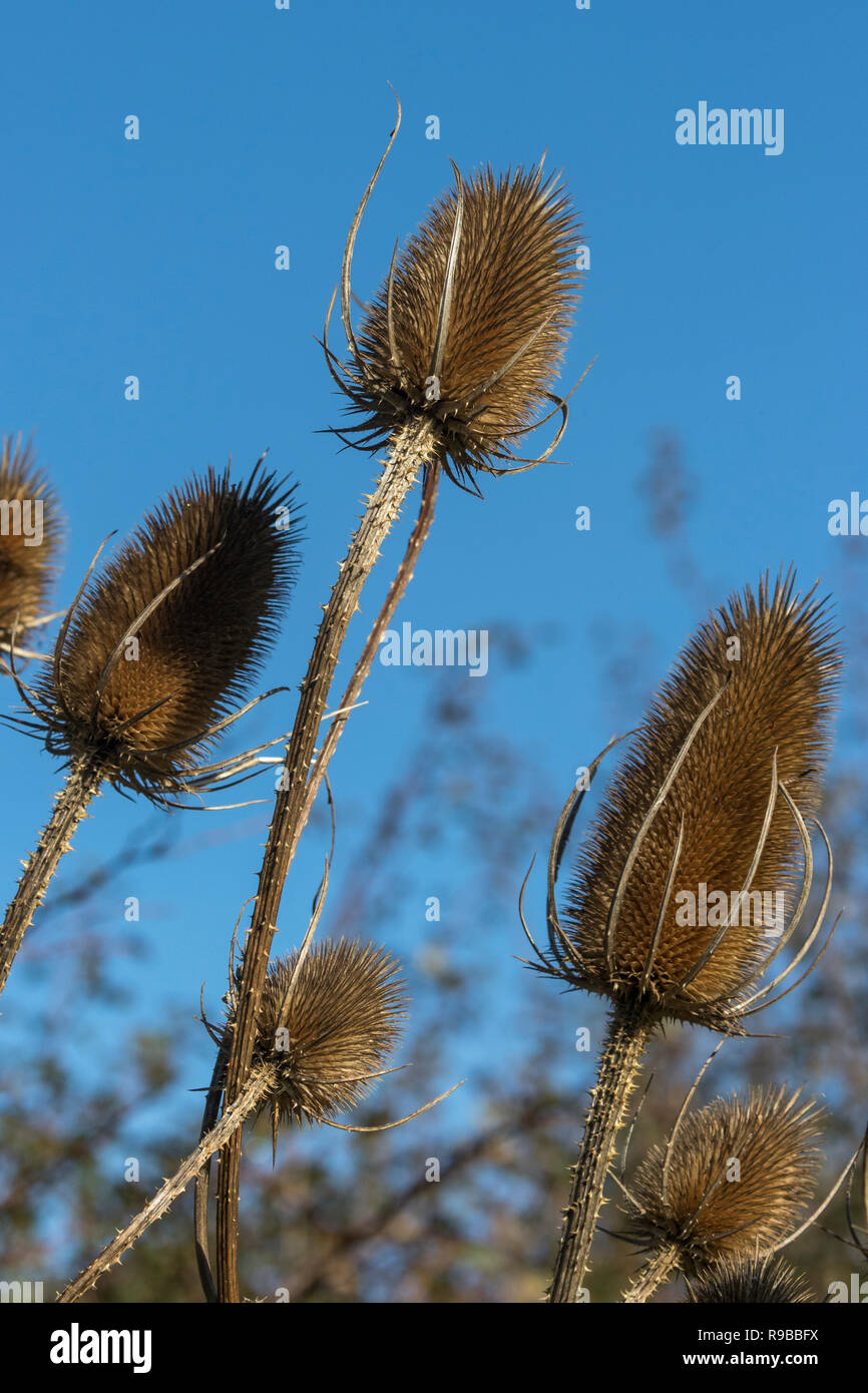 Teasel (Dipsacus fullonum), Dumfries & Galloway, Scotland, UK, - Stock Image