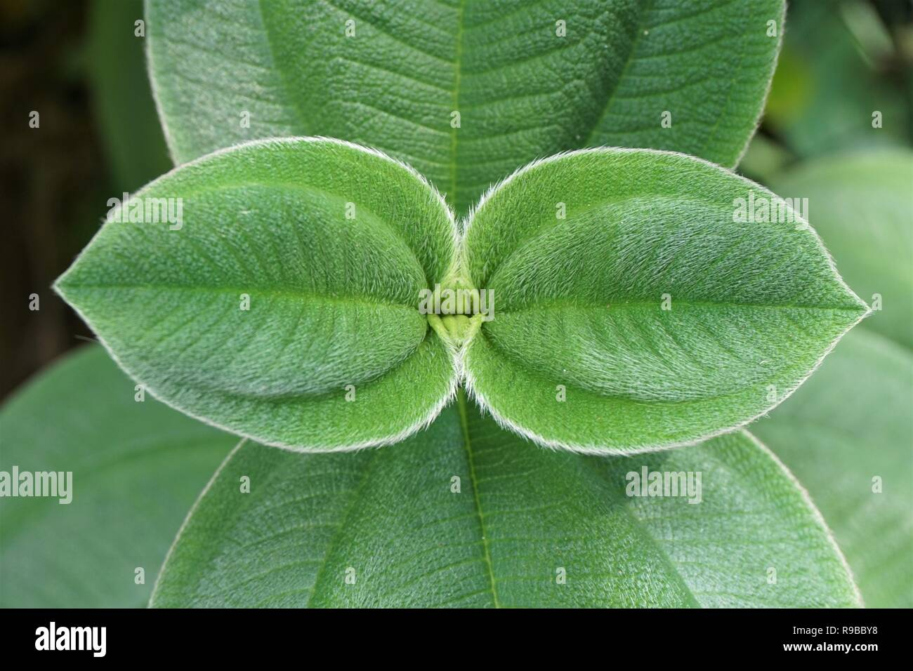 A symmetrical close up of the fuzzy green leaves of the Glory Flower - Tibouchina grandiflora - Stock Image