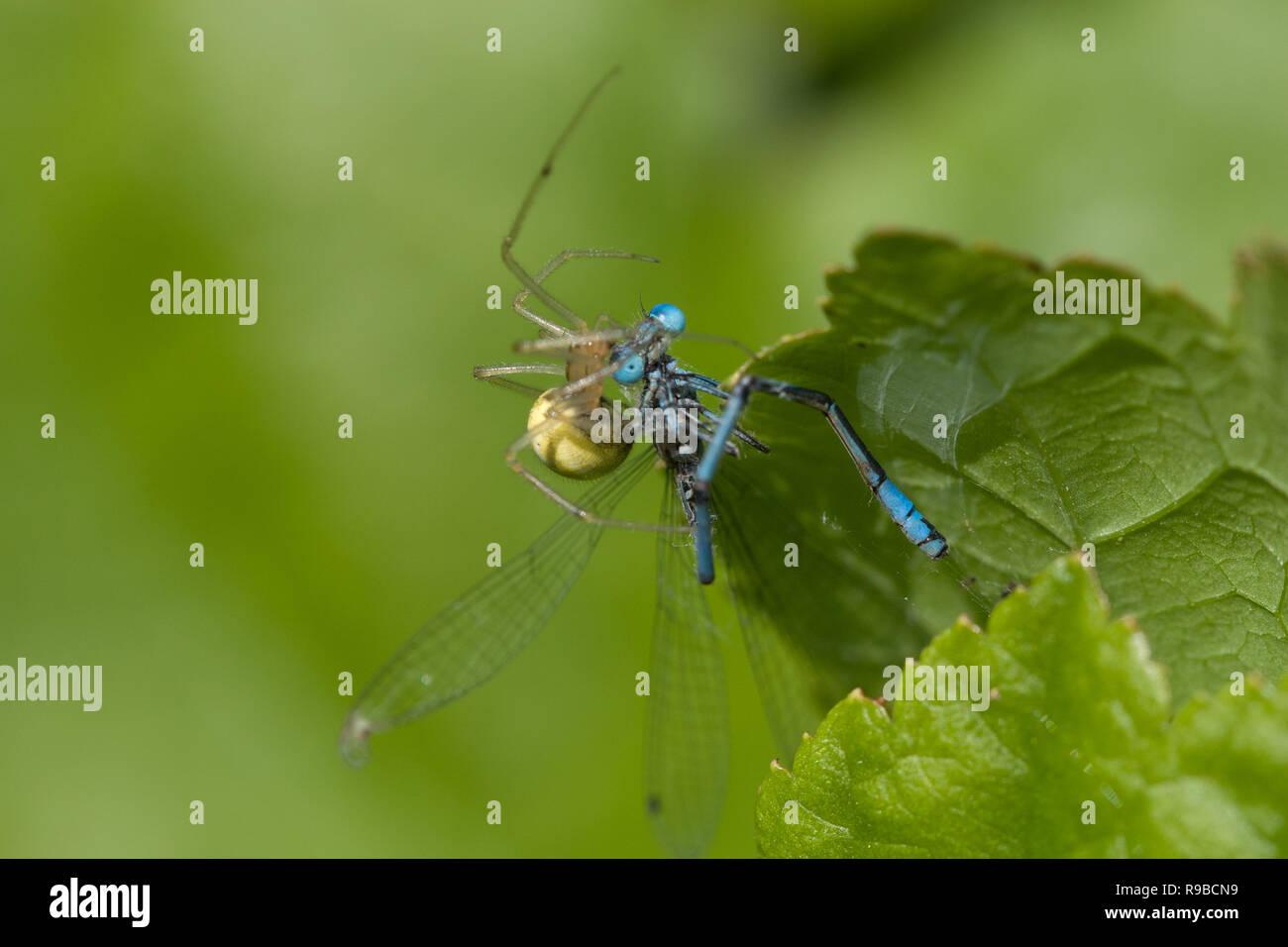 Comb-footed Spider - Enoplognatha ovata, eating damselflyUK - Stock Image