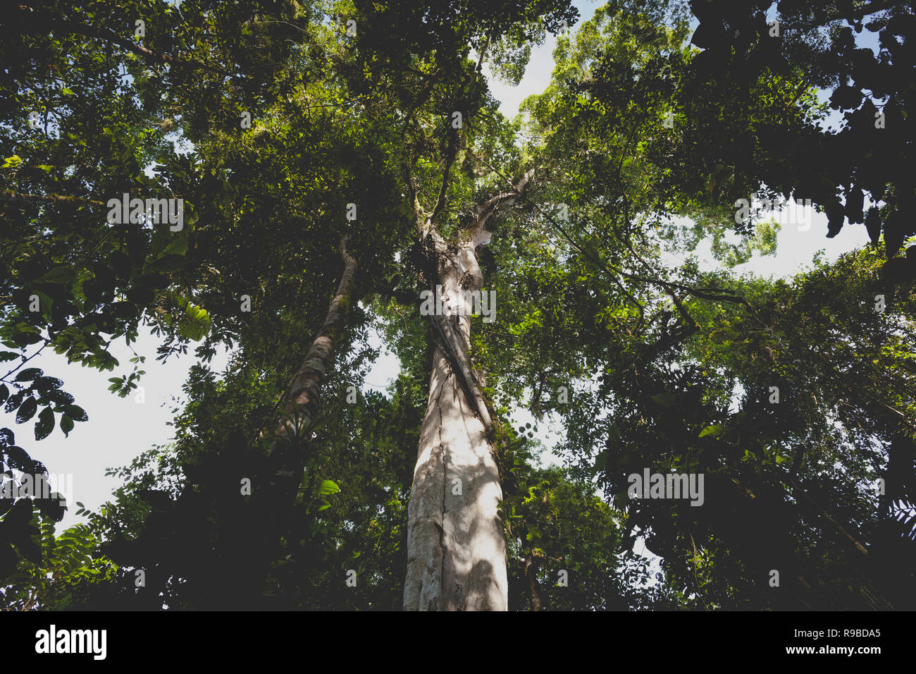 View up into rainforest canopy. La Selva Biological Station. Costa Rica. - Stock Image