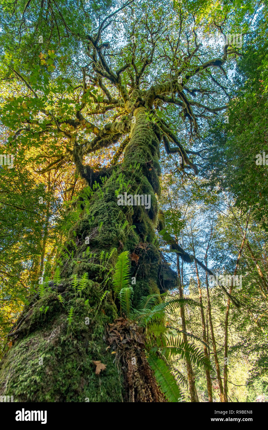 Redwood National and State Park in October - Northern California Stock Photo