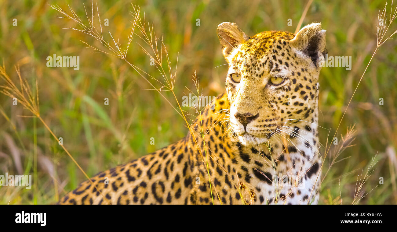 Image of: Killing Camouflaged Wild Cat Lying In The Grass Hunting Prey On The Savannah Conservation Of Endangered Animals Protected Species Of Africa Alamy Camouflaged Wild Cat Lying In The Grass Hunting Prey On The