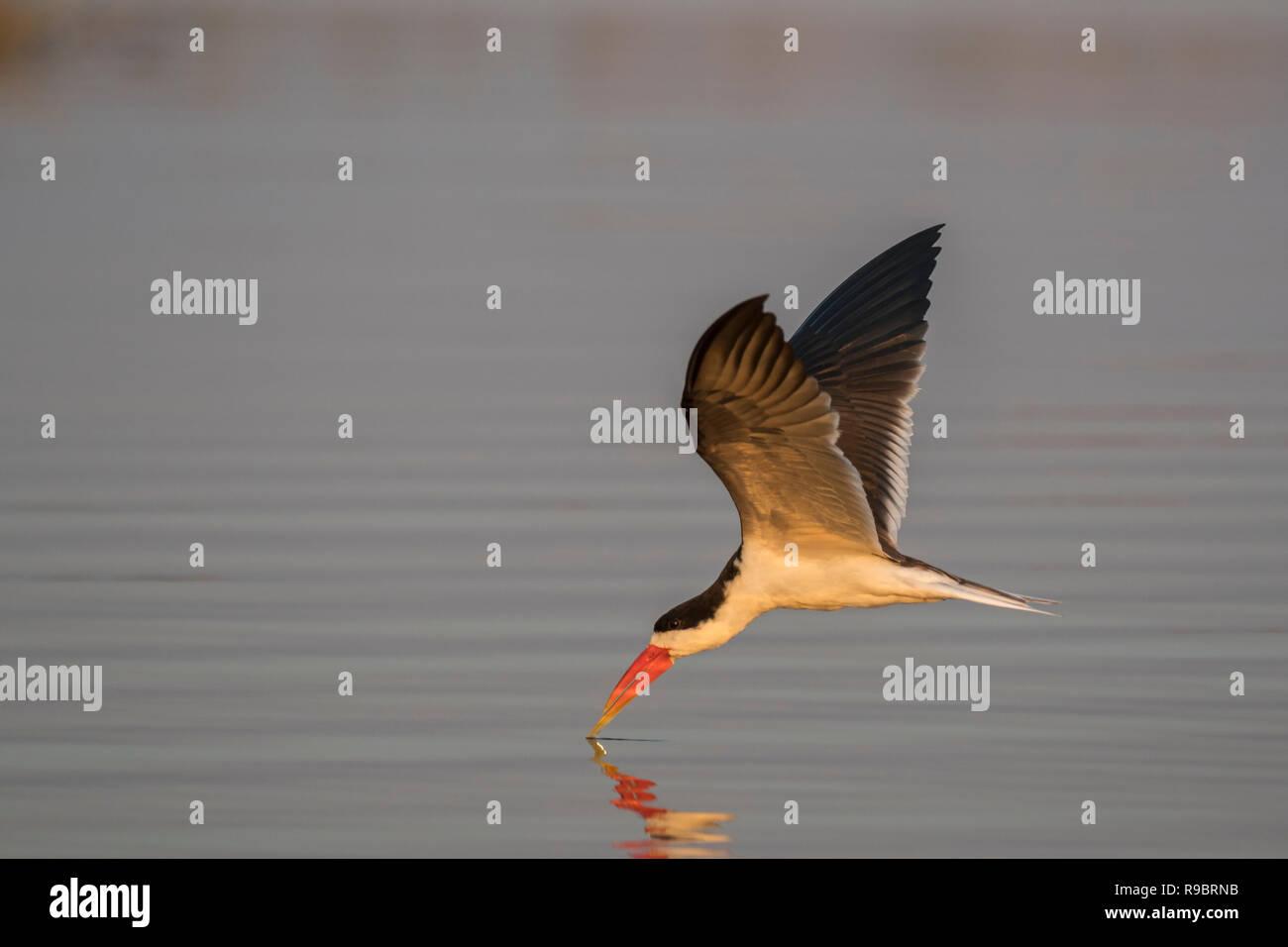 African skimmer (Rynchops flavirostris) fishing, Chobe river, Botswana - Stock Image
