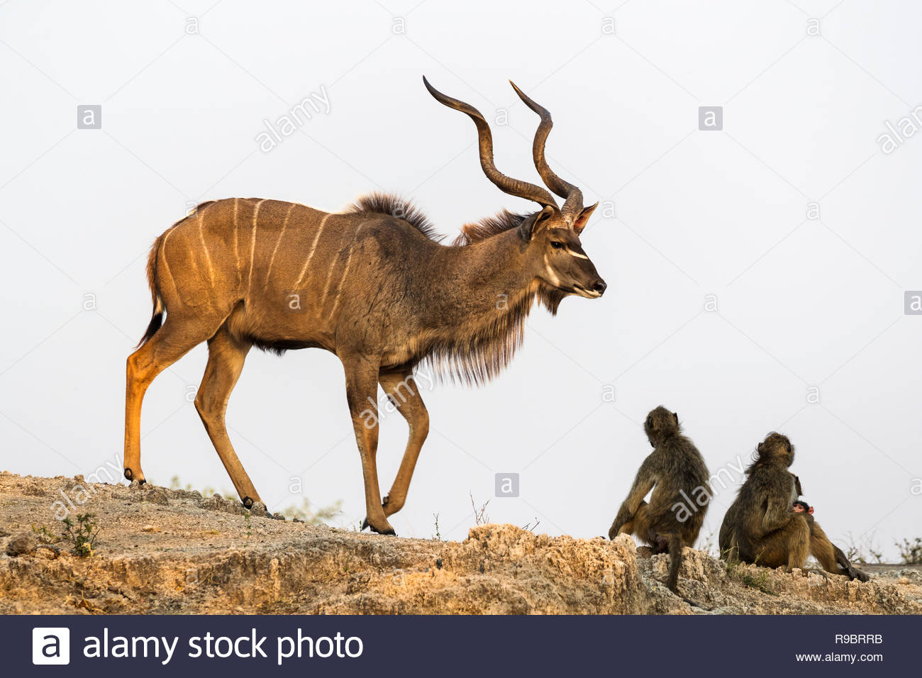 Greater kudu (Tragelaphus strepsiceros), Chobe national park, Botswana Stock Photo