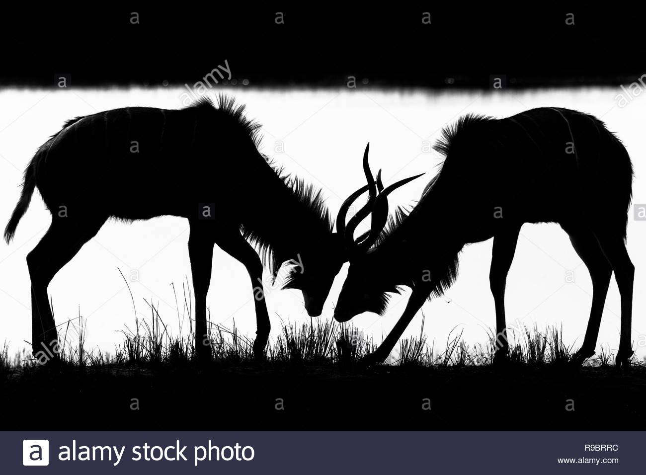 Greater kudu (Tragelaphus strepsiceros) young males sparring, Chobe national park, Botswana - Stock Image