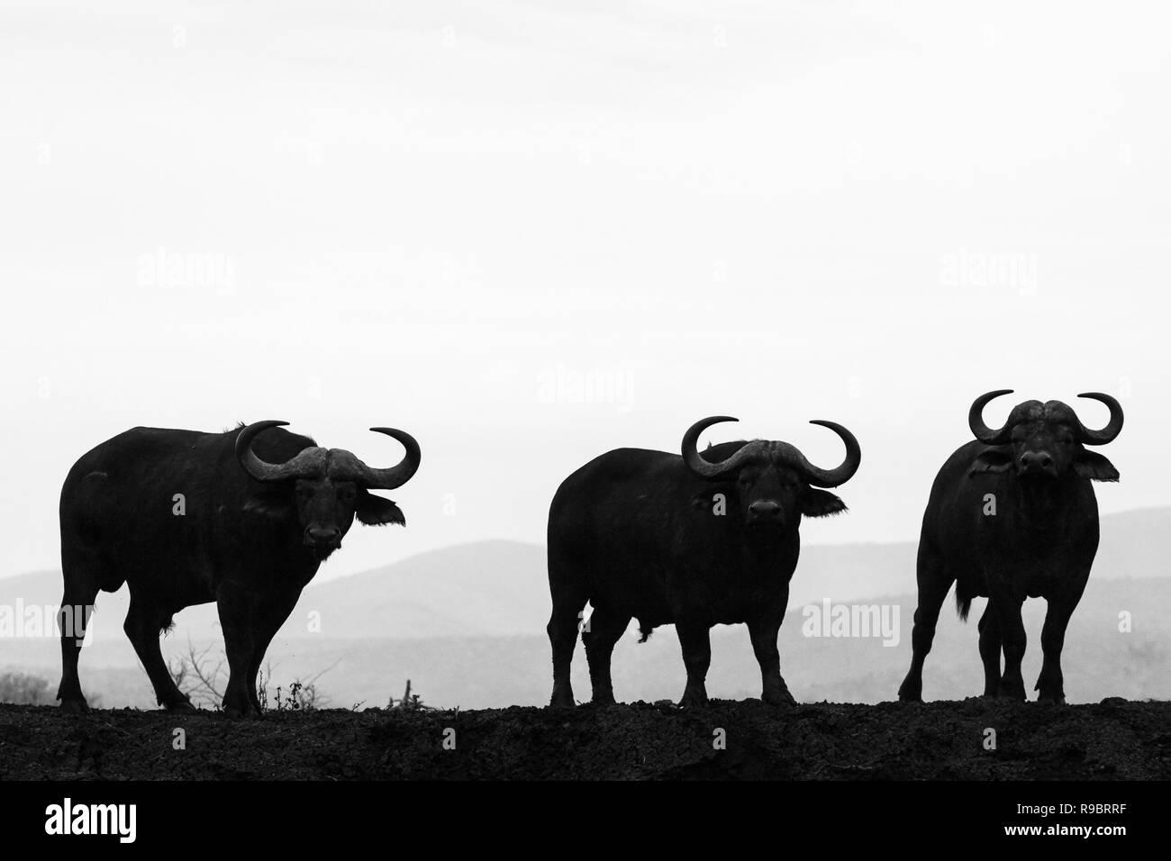 Cape buffalo (Syncerus caffer), Zimanga private game reserve, KwaZulu-Natal, South Africa Stock Photo