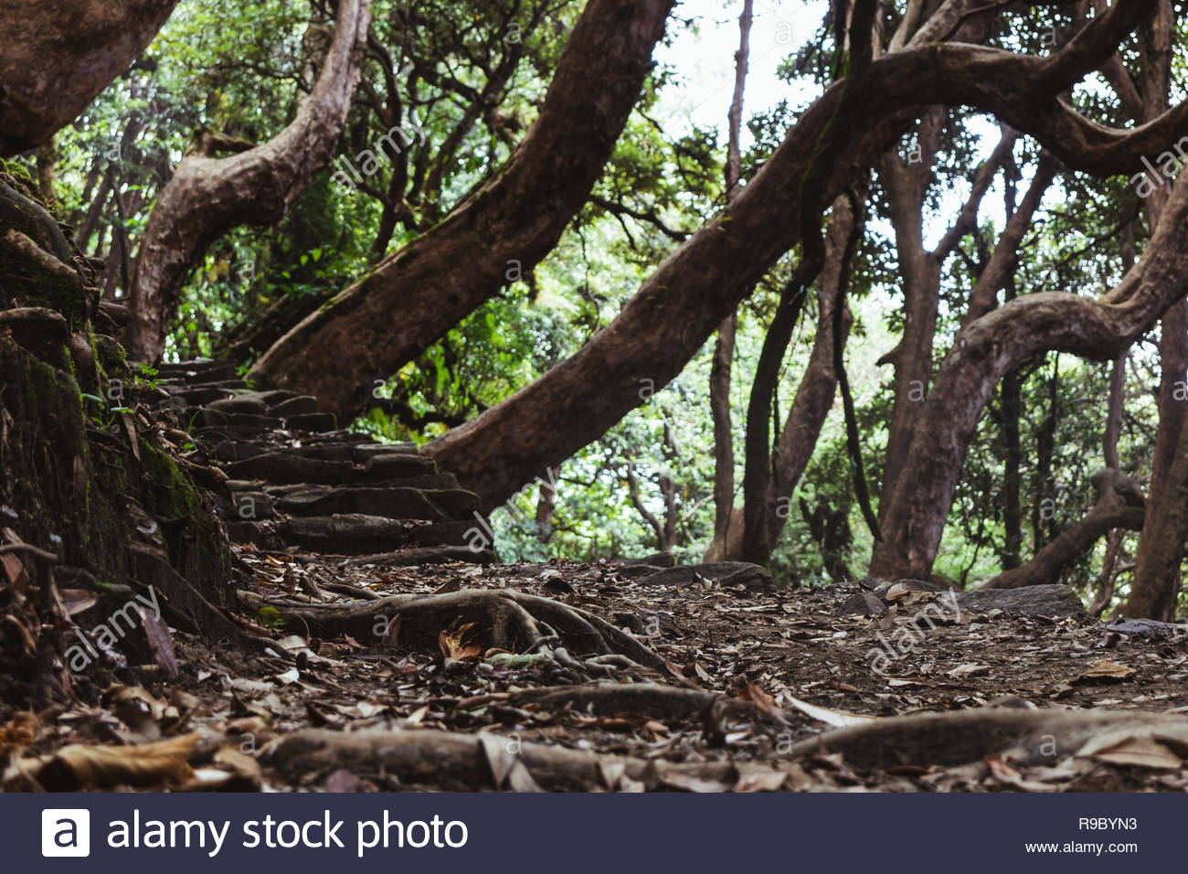 A mystical forest path towards annapurna base camp with crooked trees - Stock Image