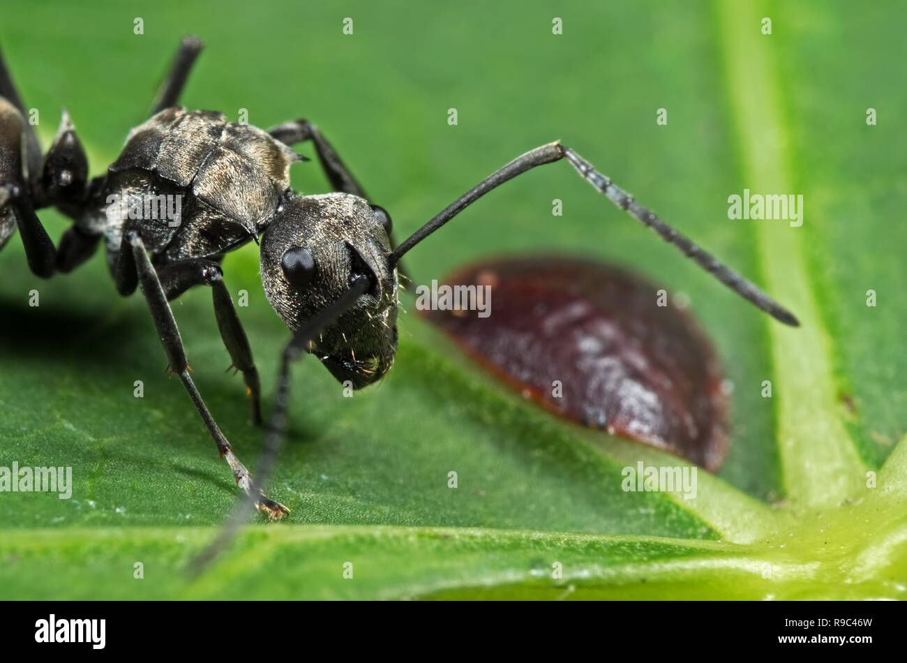 Macro Photography of Polyrhachis Dives Ant with Scale Insect on Green Leaf - Stock Image