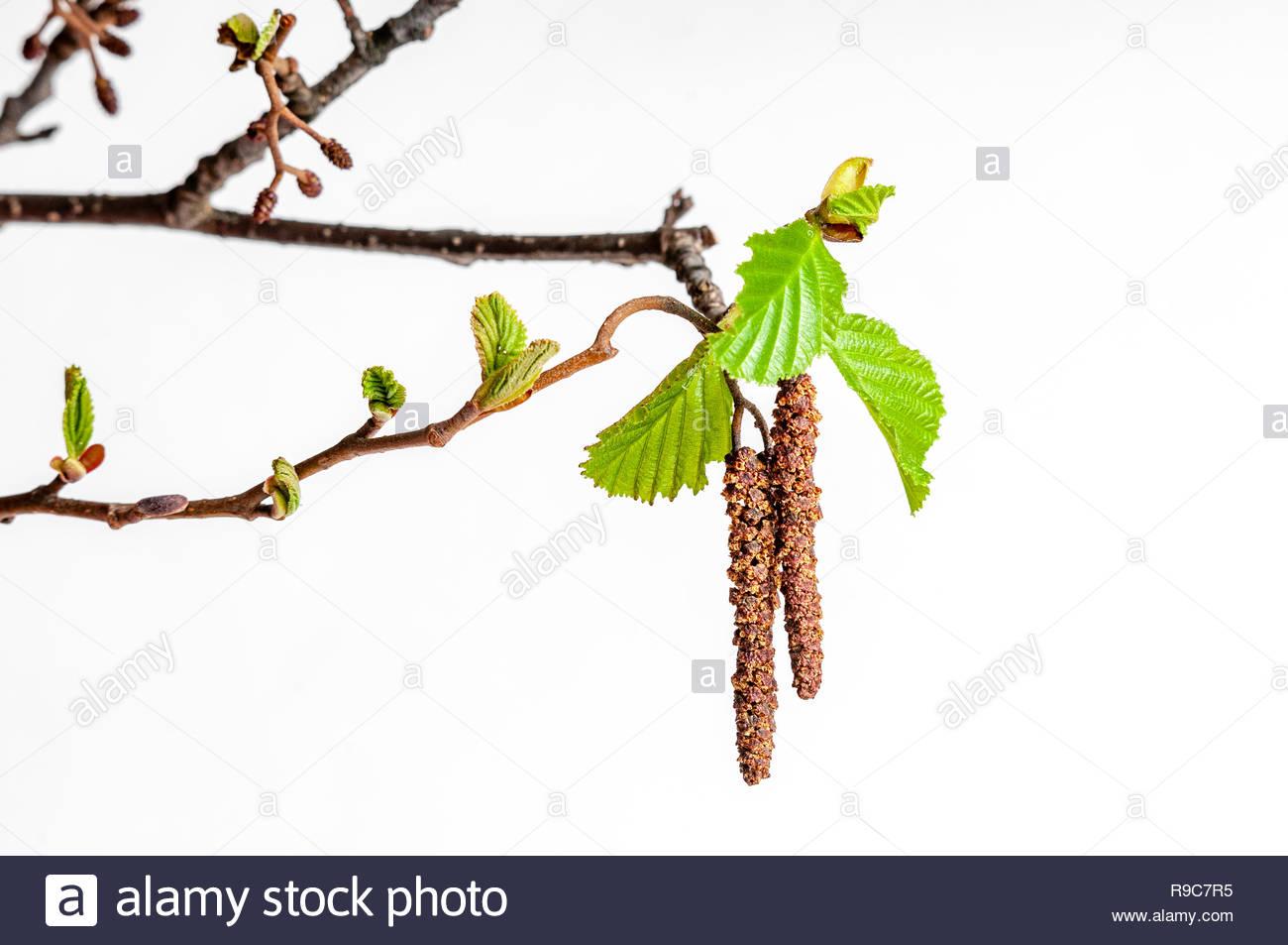 Junger Trieb einer Erle. Diese Pflanze ist ein Frühblüher. - Stock Image