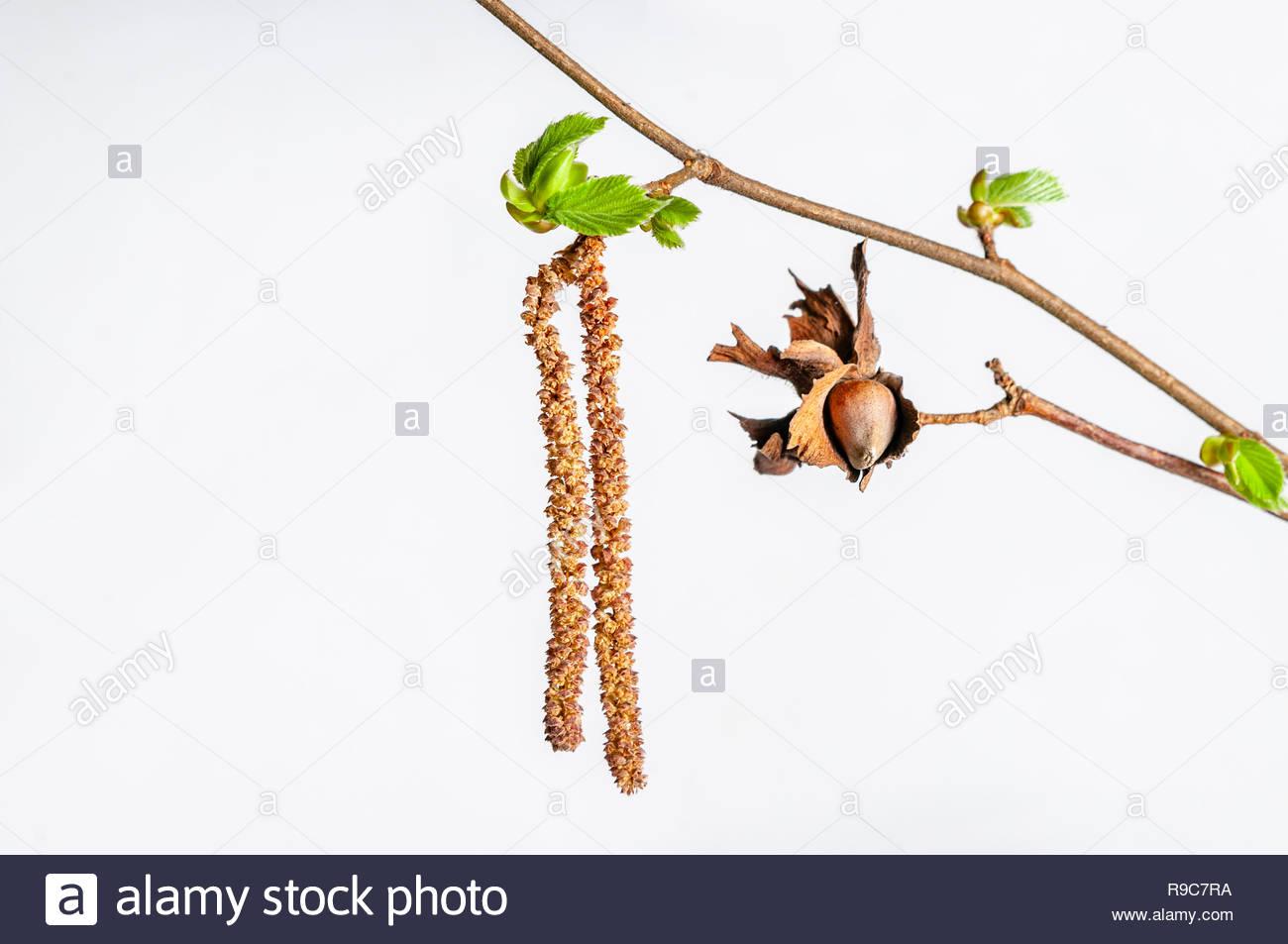 Junger Trieb eines Haselnussstrauches. Diese Pflanze ist ein Frühblüher. - Stock Image